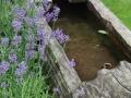 Gestaltungsdetail Wasser im Garten, Brunnen mit überwachsenden Lavendl