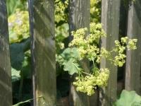 Frauenmantel stützt sich am Lärchenholz-Zaun – eine schöne Symbiose