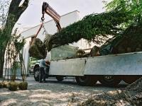 Großbaumpflanzung mit Kran