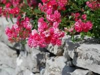 Trockenmauer-Schlichtung mit Lagenstein, Bodendeckerrose