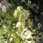 Acer negundo Flamingo - buntblättriger Eschenahorn (rosa Blattrand)