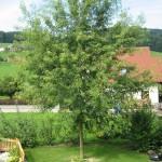 Acer saccarinum Wierii - schlitzblättriger Silberahorn