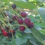 eßbare Früchte