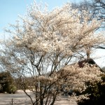 Amelanchier lamarchii