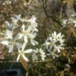 Amelanchier lamarkii, Kupferfelsenbirne, Blütezeit