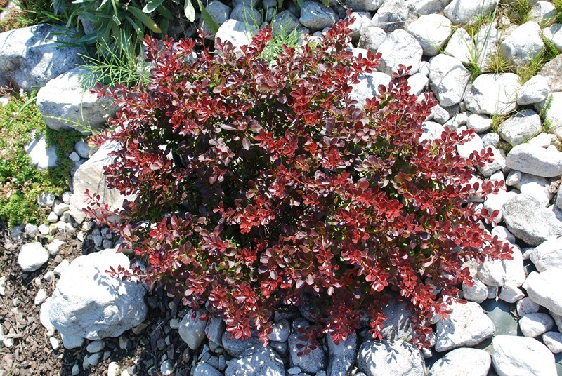 Am Er Rose >> Berberis thunbergii – grüne Berberitze › Der Service Gärtner - Gartengestaltung & Gartenpflege ...