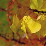 Betula pendula - Birke Herbstfärung