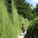 Buxus sempervirens - hoher Buchsbaum
