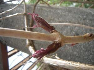 Campsis radicans - Trompetenblume  im Austrieb