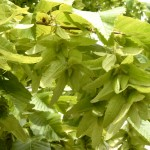 Carpinus betulus - Samenstände