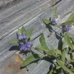 Caryopteris clandonensis - Bartblume, wertvoller Sommerblüher in Blau