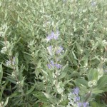 Caryopteris clandonensis Heavenly Blue - dklblaue Bartblume