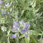 Caryopteris clandonensis Heavenly Blue - dklblaue Bartblume, Detail der Blüte