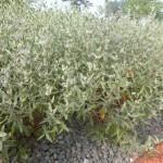 Caryopteris clandonensis Heavenly Blue - dklblaue Bartblume, Wuchs
