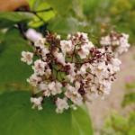 Catalpa bignonoides - Trompetenbaum