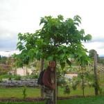 Catalpa bignonoides - junger Trompetenbaum