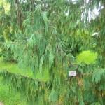 Chamaecyparis nootkatensis Pendula, klassischer Wuchs der Hängezypresse
