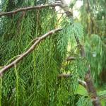 Chamaecyparis nootkatensis Pendula, Ansicht Zweige der Hänge-Nutkatzypresse