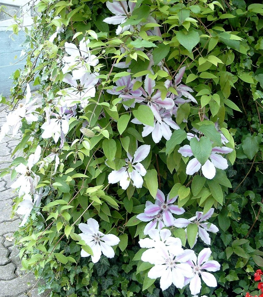Clematis-Hybride