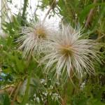 Clematis tangutica - Gold-Waldrebe, Fruchtstand, Wuschel