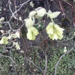 Corylopsis spicata - Scheinhasel