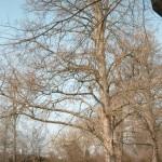 Baumhasel im Winter