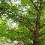 Crataegus monogyna - eingriffliger Weissdorn Wuchs