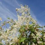 Fallopia aubertii (Polygonum aubertii) - Schling-Knöterich, Blütendetail