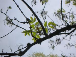 Fraxinus ornus - Blumenesche im Austrieb