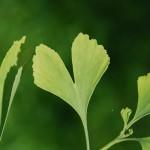 Gingko biloba - Fächerblattbaum