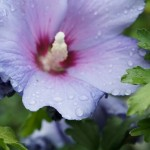 Hibiscus syriacus - Roseneibisch