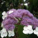 Hydrangea aspera  Sargentiana - Schirm- oder Samthortensie
