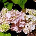 Hydrangea macrophylla - Bauernhortensie