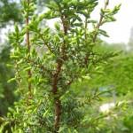 Juniperus communis, gemeiner Wacholder, Detail Zweig