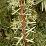 Juniperus communis Hibernica - irischer Säulenwacholder, Detail Nadeln