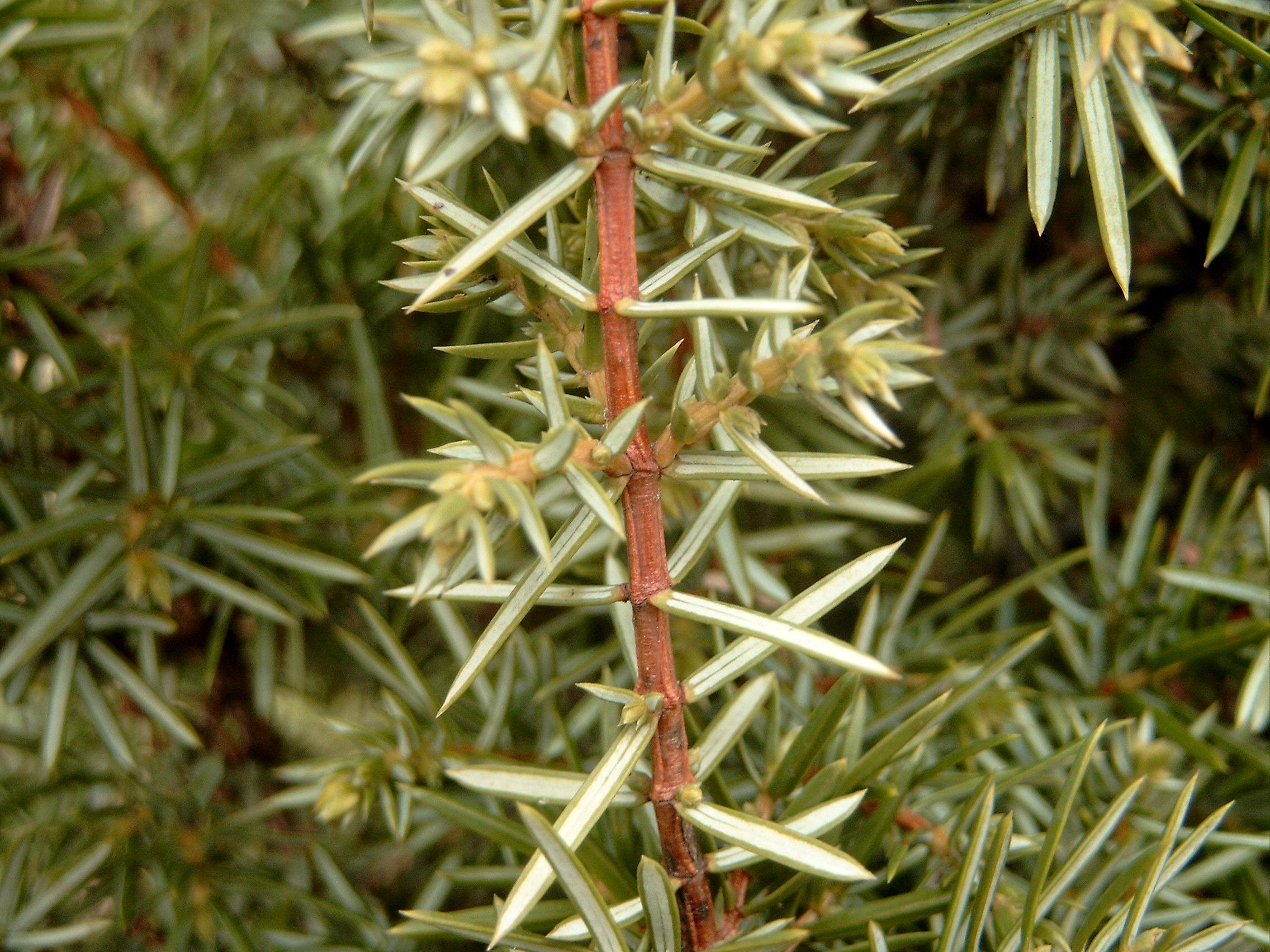 juniperus communis gemeiner wacholder der service g rtner gartengestaltung f r salzburg. Black Bedroom Furniture Sets. Home Design Ideas
