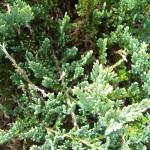 Juniperus communis Repanda, Kriechwacholder, bodendeckender Wacholder