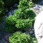 Kegelfichte Ohlendorfii; Picea abies Ohlendorfii als Bonsai gezogen