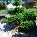 Kegelfichte Ohlendorfii, Picea abies Ohlendorfii mit Bonsaischnitt