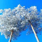 Kiefern im Winter von unten fotografiert gen Himmel