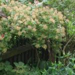 Kolkwitzia amabilis - Kolkwitzie - Samenstand