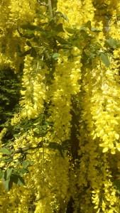 Blüten Laburnum watereri Vossii