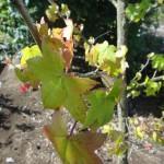 Liquidamber styraciflua - Amberbaum, Detail Blatt