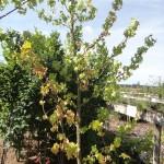 Liquidamber styraciflua - Amberbaum, Wuchs