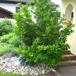 Magnolia soulangeana - Tulpenmagnolie