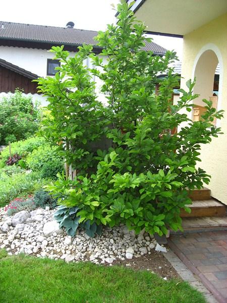 magnolia soulangiana tulpenmagnolie der service g rtner gartengestaltung gartenpflege in. Black Bedroom Furniture Sets. Home Design Ideas
