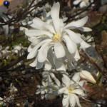 Magnolia stellata, Blüten mit zahlreichen Blütenblättern