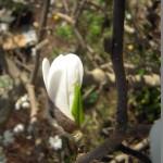 Blütenknospe der Sternmagnolie, es zeigt sich das erste weiß