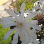 Blütendetail der Sternmagnolie, zahlreiche schmale längliche weiße Blütenblätter - bis zu 40 solcher Blütenblätter pro Blüte sind möglich