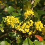 Mahonia aquifolium, Mahonie, Blüten und Blätter